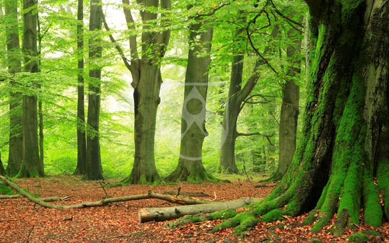 Lignostone® Kunstharzpressholz besteht aus dem nachwachsenden Rohstoff Buchenholz